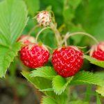 Poziomki – najzdrowsze owoce świata