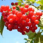 Cudowny owoc – żurawina
